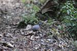 Hooded Tinamou (Nothocercus nigrocapillus)
