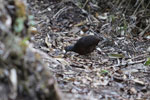 Hooded Tinamou (Nothocercus nigrocapillus) [wayquecha-andes_0438]