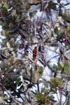 Chestnut-breasted Coronet (Boissonneaua matthewsii)