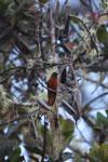 Chestnut-breasted Coronet (Boissonneaua matthewsii) [wayquecha-andes_0467]