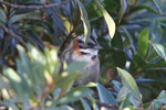 Rufous-collared Sparrow (Zonotrichia capensis) [wayquecha-andes_0477]