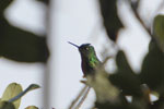 Tyrian Metaltail (Metallura tyrianthina) [wayquecha-andes_0492]