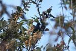 Masked Flowerpiercer (Diglossopis cyanea)