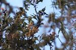 Masked Flowerpiercer (Diglossopis cyanea) [wayquecha-andes_0499]
