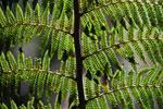 Tree fern [wayquecha-andes_0518]