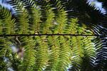 Tree fern [wayquecha-andes_0520]