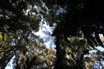Tree fern [wayquecha-andes_0522]