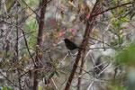 Slate-throated redstart (Myioborus miniatus) or Slate-throated Whitestart (Myioborus miniatus) (?)