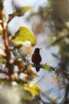 Chestnut-breasted Coronet (Boissonneaua matthewsii) [wayquecha-andes_0612]