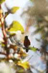 Chestnut-breasted Coronet (Boissonneaua matthewsii) [wayquecha-andes_0613]