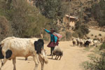 Quechua women in the Andes with alpaca, sheep, and cattle