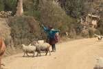 Quechua women in the Andes with alpaca, sheep, and cattle [wayquecha-andes_0731]