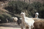 Alpaca in the Andes