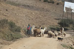 Quechua woman in the Andes with her livestock [wayquecha-andes_0748]