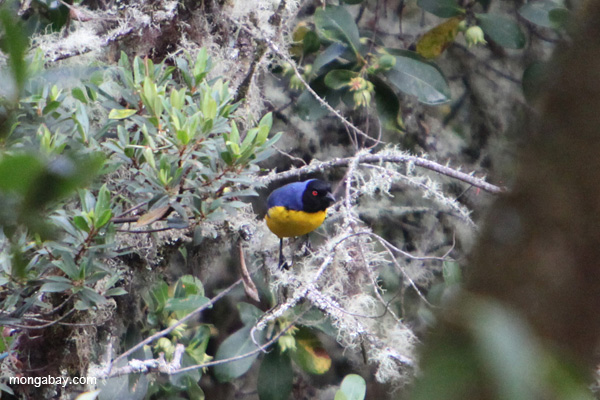 Hooded mountain-tanager (Buthraupis montana)