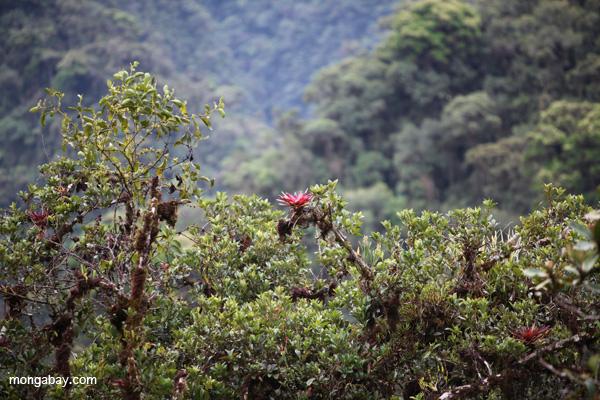 Red bromeliads (Racinaea) in Manu, Peru. Photo by Rhett A. Butler / mongabay.com
