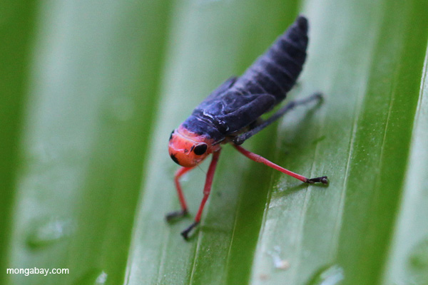 Insect nymph in Manu National Park, Peru. Photo by: Rhett A. Butler.