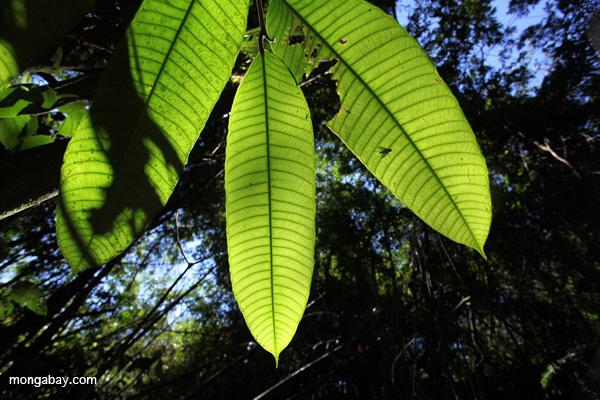 Hojas de la Amazonia Peruana. Foto de: Rhett A. Butler.