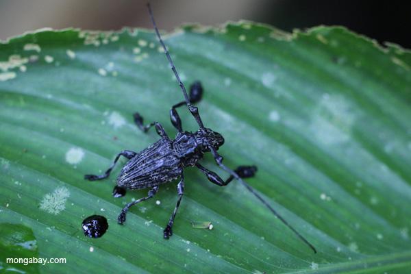 Escarabajo sin identificar en Perú. La nación amazónica es hogar de algunos de los bosques con mayor biodiversidad del mundo. Foto por: Rhett A. Butler.