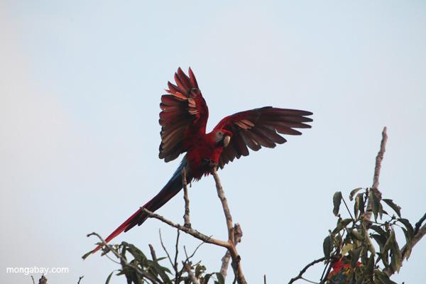 Scarlet macaw in the Peruvian Amazon. Photo by: Rhett A. Butler.y