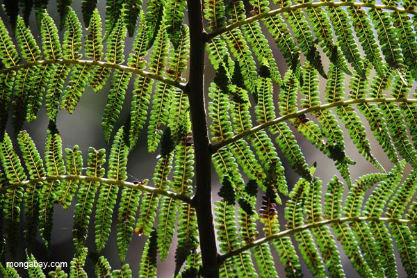 A tree fern in the Kosnipata Valley of Peru. Photo by Rhett A. Butler / mongabay.com