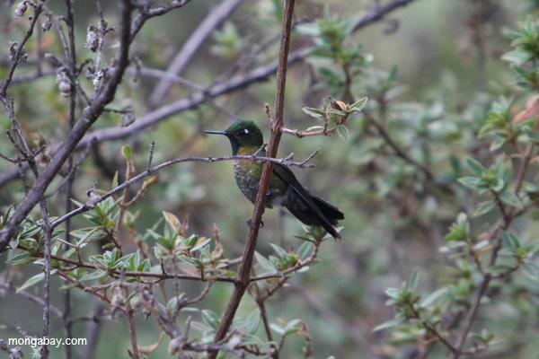 Metalura tiria (Metallura tyrianthina) en los bosques nubosos de los Andes. Los bosques nubosos albergan un gran número de especies que no se encuentran en ningún otro lugar, pero se enfrentan a amenazas de deforestación y calentamiento global. Foto de: Rhett A. Butler.