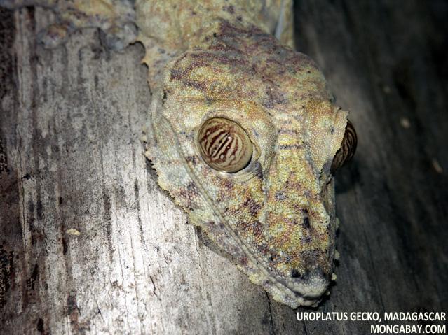 Uroplatus fimbriatus gecko in Madagascar