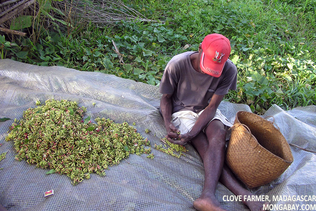 Preparation of cloves in Madagascar