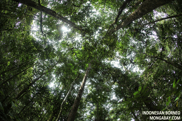 The rainforest canopy as seen from the forest floor in Borneo