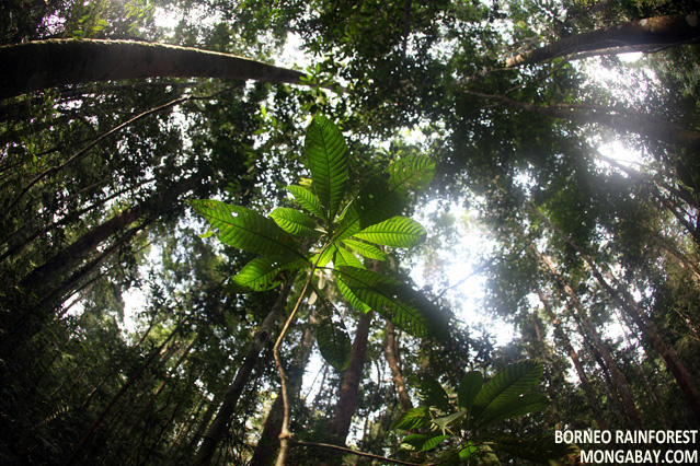 Seedling growing up from the forest floor in Borneo