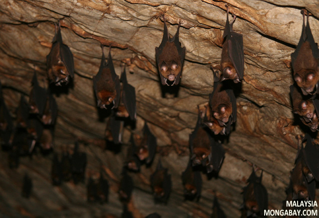 Insect-eating bats in Malaysia