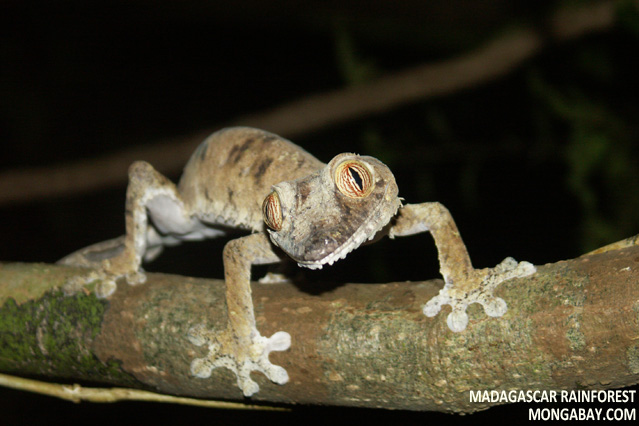 Leaf-tailed gecko in the rainforest of Madagascar