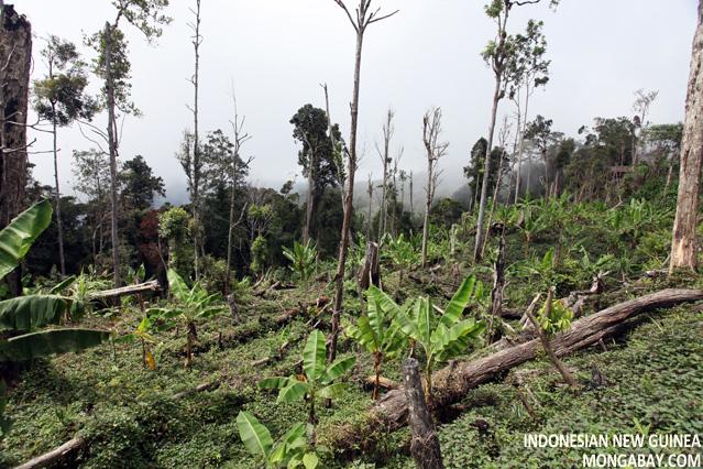 Smallholder forest conversion in New Guinea