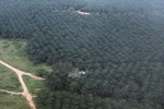 Oil palm estate in Malaysia -- sabah_0023