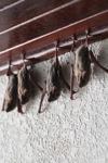 Bats -- sabah_0115