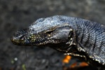 Water monitor in Borneo