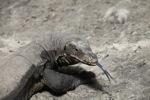 Water monitor lizard on Sapi Island