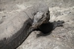 Massive monitor lizard