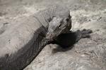 Massive monitor lizard