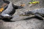 Water monitor lizards