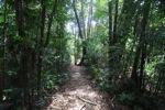 Sapi Island forest -- sabah_0239