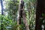Sapi Island forest -- sabah_0249