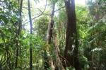 Sapi Island forest -- sabah_0250