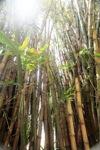 Bamboo -- sabah_0281