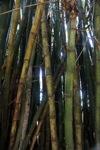 Bamboo -- sabah_0284