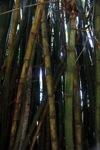 Bamboo -- sabah_0285