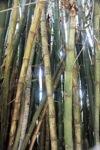 Bamboo -- sabah_0286