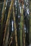 Bamboo -- sabah_0287