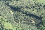 Oil palm plantation -- sabah_0545