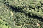 Oil palm plantation -- sabah_0546
